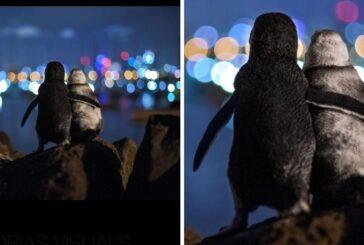 La triste historia de los pingüinos abrazados que se hicieron virales