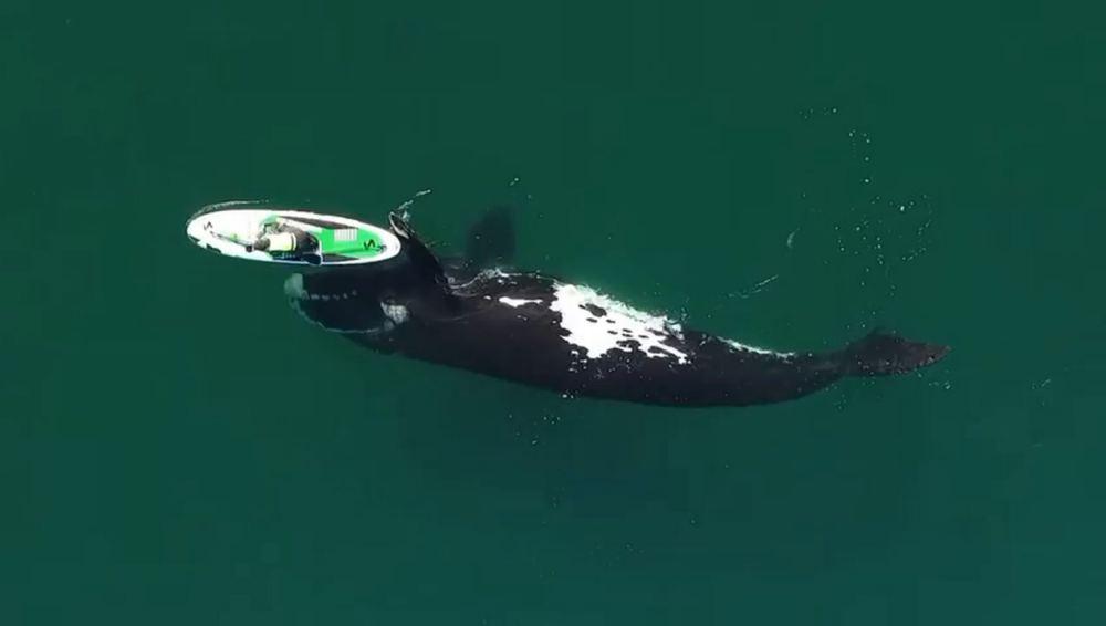 Video: Captan a impresionante ballena de 10 metros jugando con una mujer en Argentina